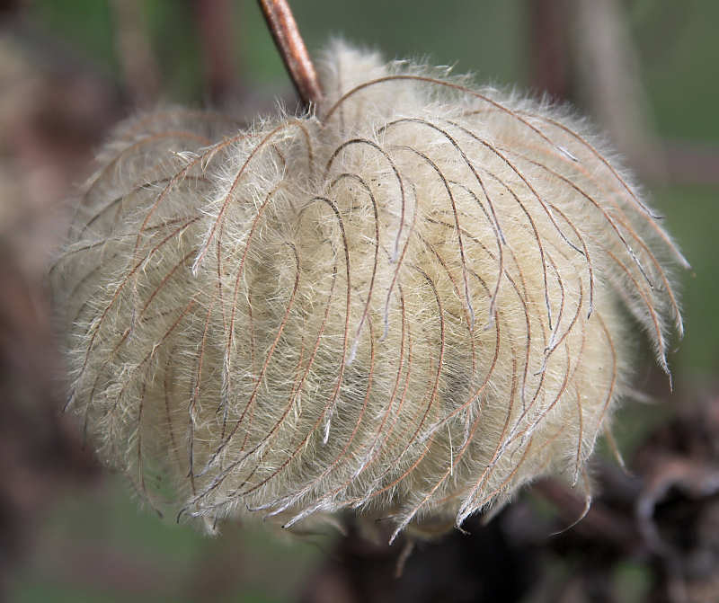 Jackman Clematis Seed Clematis Clematis x Jackmanii Hybrids Seed Head Clear Mountain Garden