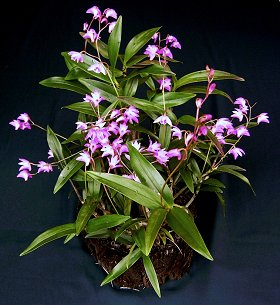 Orchid Identification likewise 5200563657 also Dendrobium Kingianum furthermore 20184 Dendrobium Sonia Earsakul moreover Snake Plant. on dendrobium orchid care