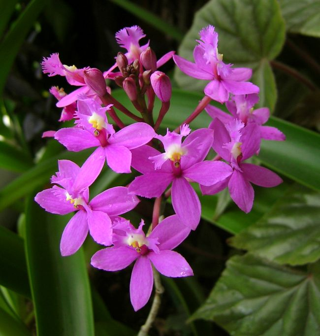 Watch additionally Oncidium Sharry Baby Sweet Fragance Xml 384 1738 moreover 162411969163 further Epidendrum Purple Head further 206655. on cymbidium orchids are blooming