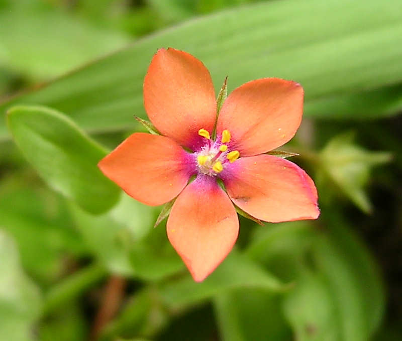 Weeds (Scarlet Pimpernel) - - Clear Mountain Garden Treasures
